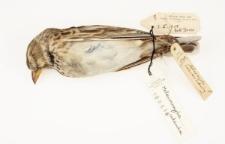 Melanocorypha calandra