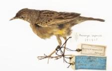 Macronyx capensis