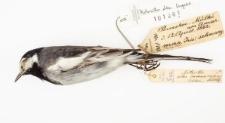 Motacilla alba lugens
