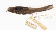 Apus affinis