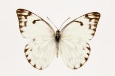 Belenois gidica (Godart, 1819)