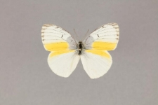 Colotis halimede (Klug, 1829)