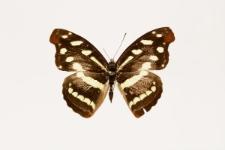 Catonephele nyctimus (Westwood, 1850)