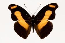 Catonephele chromis (Doubleday, 1848)