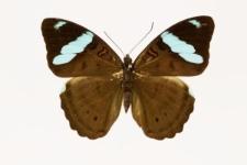 Nessaea obrinus (Linnaeus, 1758)