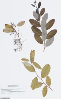 Zenobia pulverulenta (W.Bartram ex Willd.) Pollard