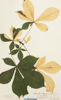 Aesculus hippocastanum L. f. maculata