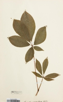Aesculus parviflora Walter