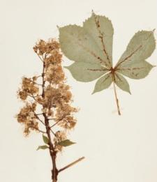 Aesculus turbinata Blume