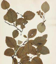 Alnus alnobetula Hort. var. typica Beck