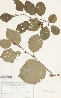 Alnus incana var. hypochlora Callier