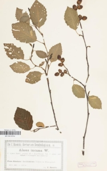 Alnus incana W. var. typica Spach