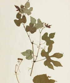 Ampelopsis heterophylla (Thunb.) Siebold & Zucc. not Blume