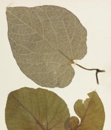 Aristolochia macrophylla Lam.