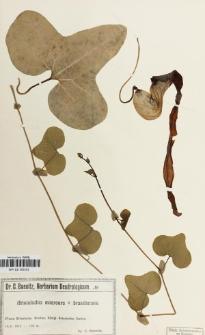 Aristolochia macroura x brasiliensis