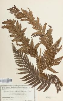 Balantium antarcticum (Labill.) C. Presl