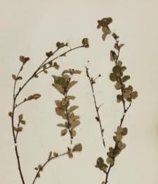 Betula humilis Schrank f. typica
