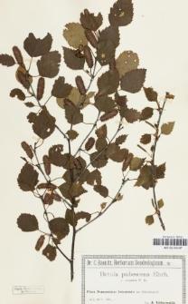 Betula pubescens Ehrh. var. carpatica (Waldst. & Kit. ex Willd.) W.D.J.Koch