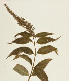 Buddleja japonica Hemsl.