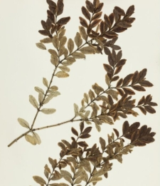 Buxus sempervirens L. var. arborescens L. f. flavo-marginata