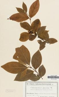 Calycanthus glaucus Willd.