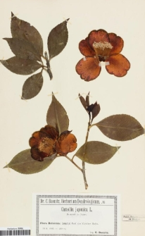 Camellia japonica L.