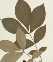 Carya laciniosa (Michx.f.) Loud.