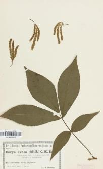 Carya ovata (Mill.) K.Koch