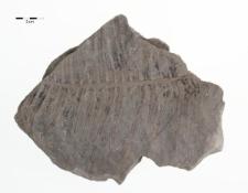 Thaumatopteris brauniana Popp
