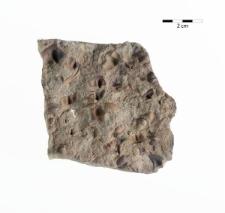 Trinucleus goldfussi