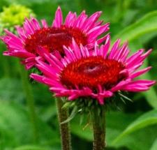 Echinacea purpurea 'Vintage Wine'