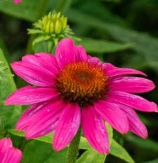 Echinacea purpurea POWWOW® WILD BERRY 'Pas702917'