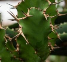 Euphorbia franckiana A. Berger