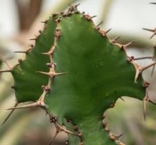 Euphorbia grandialata R.A. Dyer
