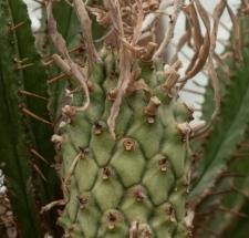 Euphorbia monteiroi Hook.
