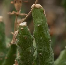 Euphorbia ornithopus Jacq.