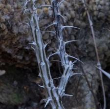 Fouquieria diguetii (Tiegh.) I.M. Johnst.