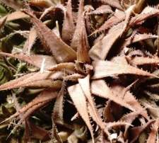 Haworthia angustifolia Haw.