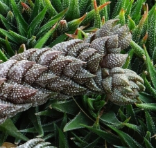 Haworthia coarctata Haw. var. coarctata
