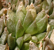 Haworthia herbacea (Mill.) Stearn