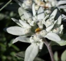 Leontopodium nivale (Ten.) A. Huet ex Hand.-Mazz. subsp. alpinum (Cass.) Greuter
