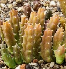 Orbea variegata Haw.
