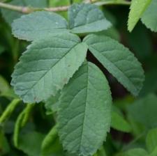 Rosa gallica L.
