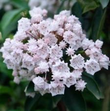 Kalmia latifolia 'Muras'