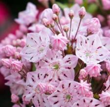 Kalmia latifolia 'Ola'