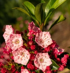 Kalmia latifolia 'Richard Jaynes'