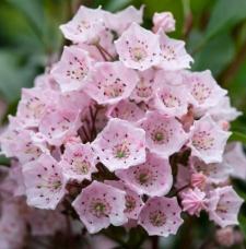Kalmia latifolia 'Rosenquarz'