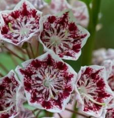 Kalmia latifolia fo. fuscata 'Carousel'