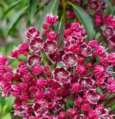 Kalmia latifolia fo. fuscata 'Kaleidoscope'
