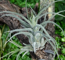 Tillandsia pruinosa Sw.
